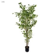 Florabelle - Ginko Tree Potted 2.4m
