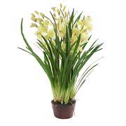 Florabelle - Cymbidium Giant Paper Pot Light Green 110cm