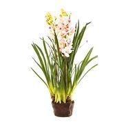 Florabelle - Cymbidium Giant Paper Pot Light Pink 110cm